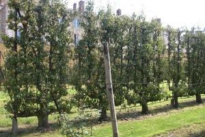 Sechsarmige Birnen-Verrier-Palmetten